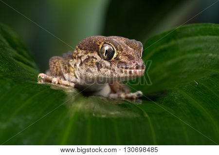 Madagascan Ground Gecko (Paroedura Pictus) on large palm leaf