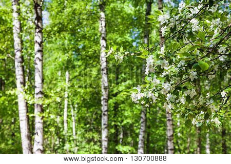Cherry Tree Twigs With White Flowers And Birches
