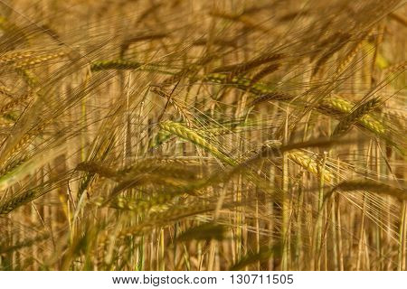 Colors of Apulia: spring. Ears of barley in the wind.ITALY. Cereal field: green ears in the wind.