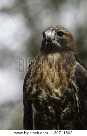 Close up of a Red Tail Hawk