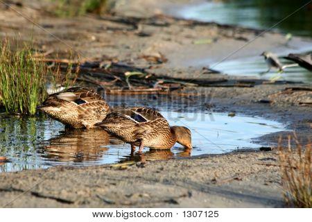Two Ducks.