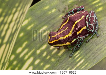 Yellow striped poison dart frog, ranitomeya imitator. A small poisonous amphibian from the Amazon rain forest in Peru Brazil and Ecuador.