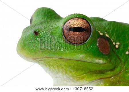 Andes tree frog, Hypsiboas riojanus. A beautiful green treefrog living in the high valleys of Bolivia and Peru. Macro of a small tropical amphibian, isolated on white background.