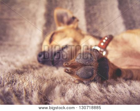 a puppy sleeping on a furry blanket with his paw in front of his face (VERY SHALLOW DOF) toned with a vintage retro instagram filter effect app or action