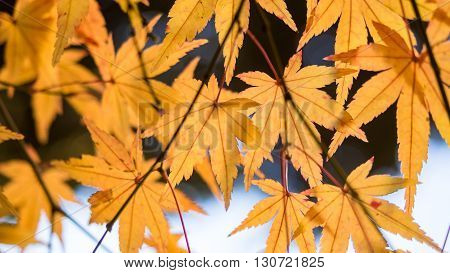 Yellow maple leaves and branch on the tree in autumn in Japan
