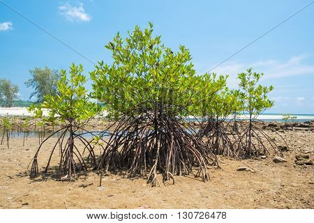 Mangrove tree at the shore sea beach with blue sky
