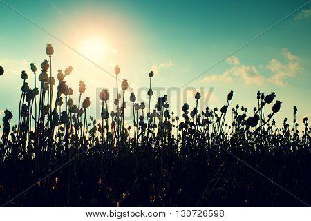 Evening Field Of Poppy Heads. Dry Flowers In Field, Hot Sun In Background