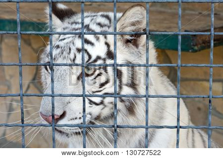 the big white tiger at the zoo