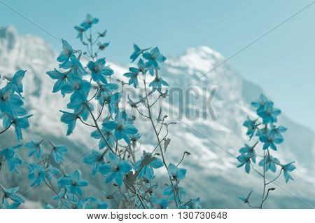Swiss Alps - snow capped mountains and flower in the foreground Eiger