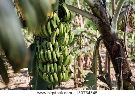 banana tree in the farm with nobody