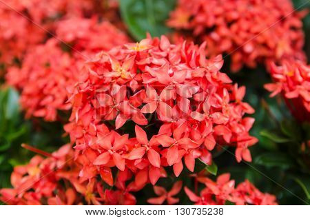 pink ixora, West Indian Jasmine (Ixora, spp.)