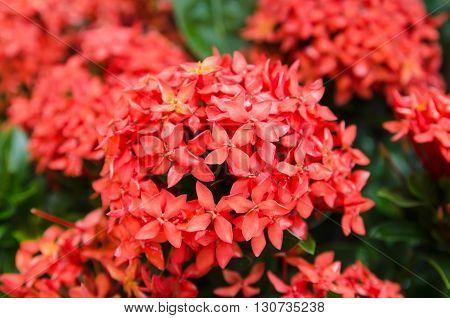 pink ixora, West Indian Jasmine (Ixora, spp.)