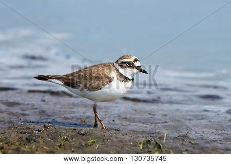 Little ringed plover (Charadrius dubius) looking for food in its habitat