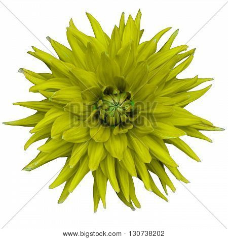 Dahlia flower isolated on a white background. Macro. Closeup. It can be used in website design and printing. Suitable for designers. Yellow green.
