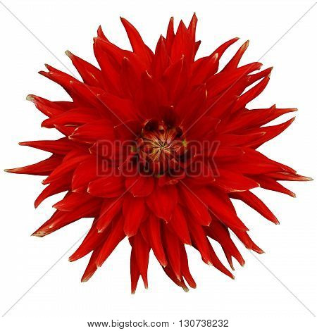 Dahlia flower isolated on a white background. Macro. Closeup. It can be used in website design and printing. Suitable for designers. Red.