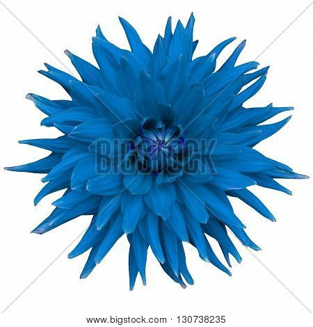 Dahlia flower isolated on a white background. Macro. Closeup. It can be used in website design and printing. Suitable for designers. Blue.