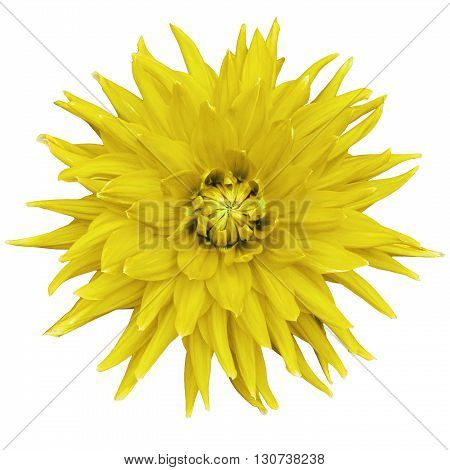 Dahlia flower isolated on a white background. Macro. Closeup. It can be used in website design and printing. Suitable for designers. Yellow.