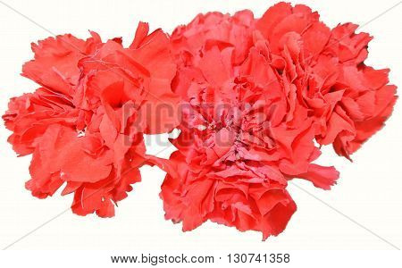 big red carnations isolated on white background