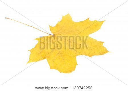 Autumn leaf isolated on a white, close up