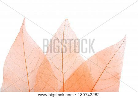 Skeleton leafs on a white background, close up