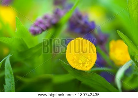 Buttercups and sage salvia, yellow and violet spring flower-closeup