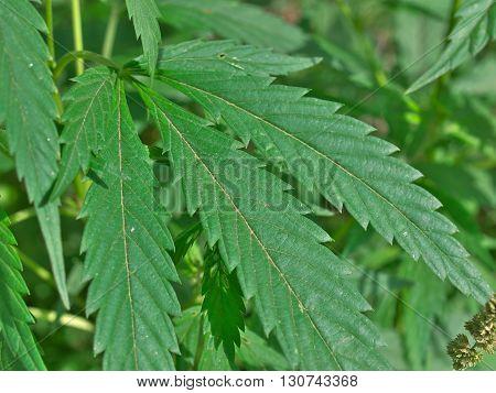 Hemp (cannabis) plant leaves macro natural background