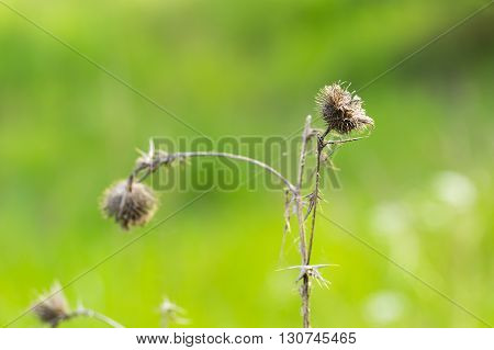 Withered Thistle Flower On Green Background