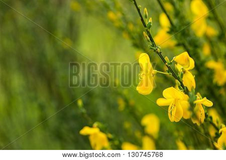 Blooming Broom In Close Up
