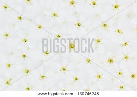White small flowers on the water. Top. Floral pattern. Wedding spring background. Macro. Bird-cherry. White background.