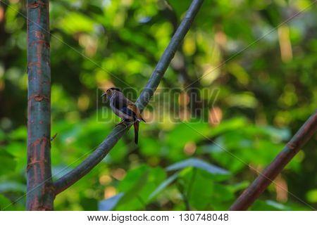 Silver-breasted Broadbill Beautiful Bird On A Branch