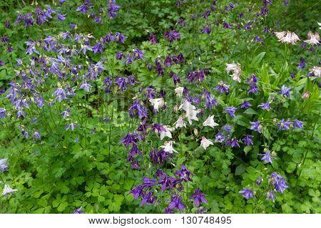 Bell Flower Bush