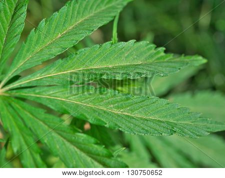 Hemp (cannabis) plant leaves closeup macro background