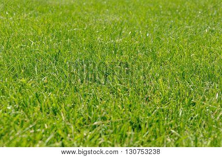 Green grass. Natural background texture. Artificial grass green