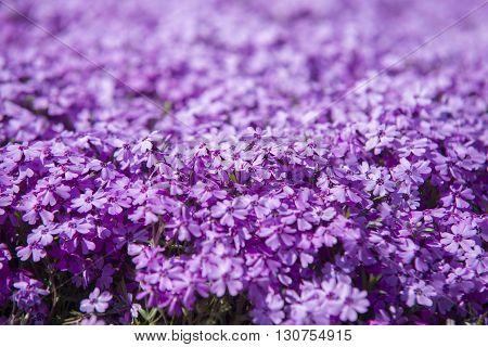 Close Up On Flower Phlox Subulata (polemoniaceae),