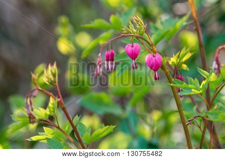Pink Flowers On A Branch In A Garden Close Up