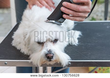Grooming the head of white Maltese dog by electric razor. Dog is lying on the grooming table.