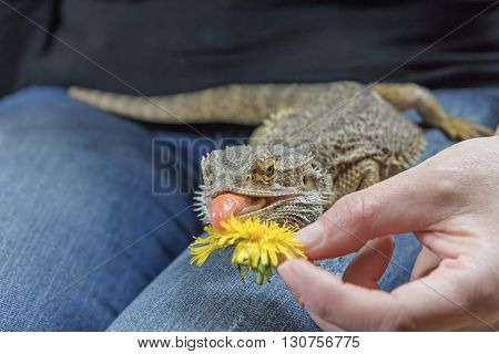 Woman is feeding by yellow dandelion flower the Agama lizard on her lap. The lizard has a protruding tongue.