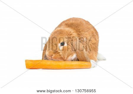 Adorable red domestic lop-eared rabbit with orange carrot isolated over white background. Copy space.
