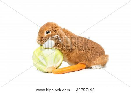 Adorable red domestic lop-eared rabbit with carrot and cabbage isolated over white background. Copy space.