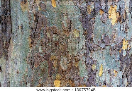 Close up of patchy colorful eucalyptus tree trunk texture. Mottled bark of Australian gum tree. Nature background