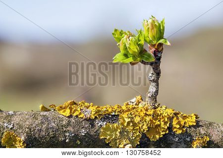 Little branch with buds emerging from a bigger tree branch