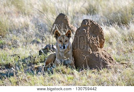 Australian Dingo resting next to a termite mound