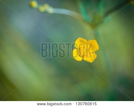 Buttercups Flowers In Nature