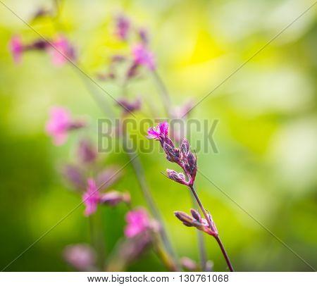 Wild Gillyflowers Growing In European Forest