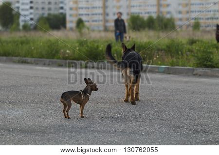 Russian Toy Terrier And A Puppy Alsatian Dog