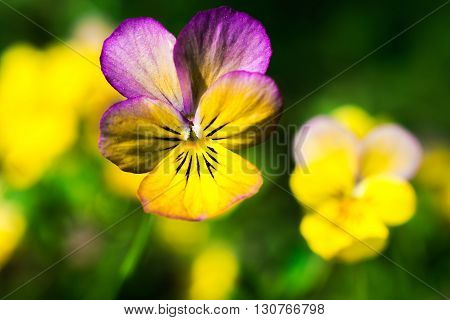 yellow and purple tricolor viola flower. Pansy. macro. flower background