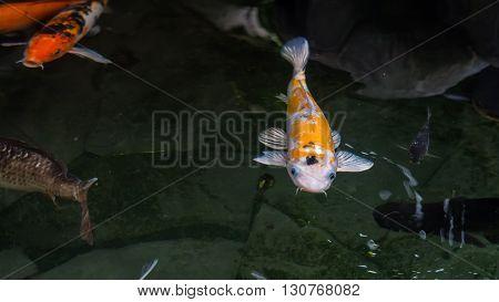 Japanese koi carp fish in the pond