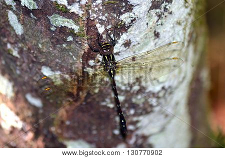 Giant brown and green dragonfly perched on a lichen covered Coachwood tree trunk
