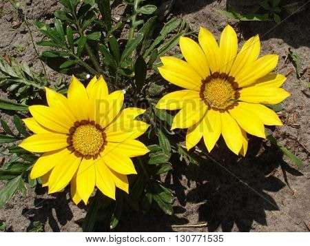 Two yellow with brown stripes gazania flowers.