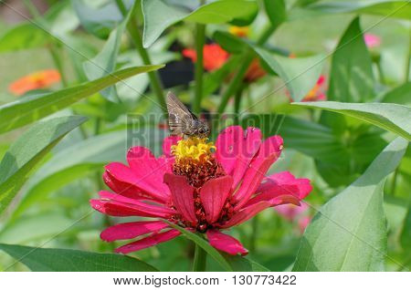 the little skipper butterfly on zinnia flower